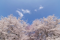 山形県 満開の桜