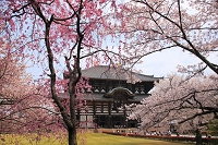 奈良県 大仏殿と桜