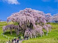 福島県 三春の滝桜