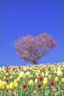 北海道 ハート型の桜とチューリップ