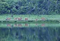 湖面のエゾシカ