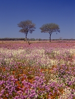 オーストラリア 花畑