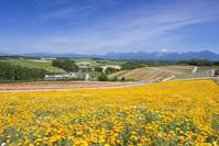 花盛りの四季彩の丘と十勝岳連峰