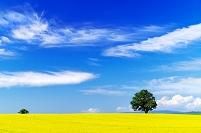 北海道 小麦畑の丘の一本の木