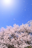 長野県 高遠城址公園 タカトオコヒガンサクラと青空