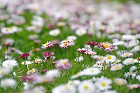 ヒナギク群れる草原