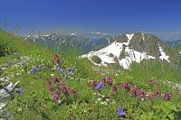 長野県 高山植物咲く白馬岳と旭岳右の山