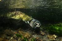 雄鮭の喧嘩
