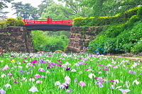 神奈川県 小田原城城址公園の菖蒲