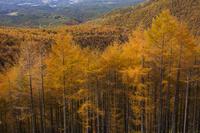 長野県 高峰高原 カラマツの黄葉