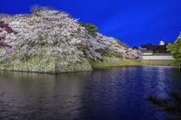 滋賀県 桜咲く彦根城ライトアップ 中堀より佐和口多聞櫓と天守閣
