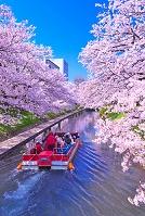 富山県 サクラの松川