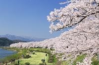 秋田県 角館の桧木内川の桜並木