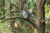 埼玉県 越谷市 キャンベルタウン野鳥の森 レンジャクバト