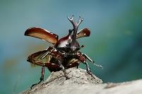 カブトムシ 飛び立つ