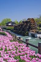 富山県 チューリップと水車 砺波チューリップ公園 となみチュ...