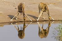 ナミビア 水を飲むキリン