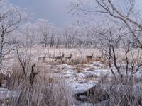 北海道 エゾシカ 霧氷