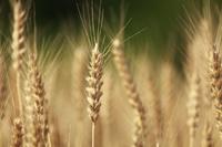 実る麦の穂 滋賀県