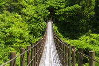 新緑の樅木吊橋