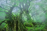 鹿児島県屋久島町白谷雲水峡 もののけの森
