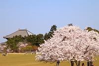 奈良県 奈良市 奈良公園 桜