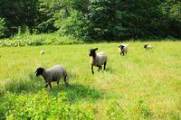 羊と牧草地