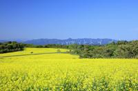 秋田県 桃野地区の菜の花畑より風力発電機