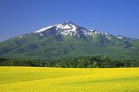 青森県 朝の岩木山と菜の花畑