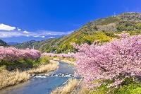 静岡県 河津桜まつり 河津桜と河津川