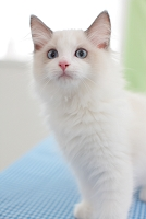 ラグドールの子猫