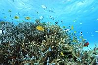 石垣島 サンゴ礁のイメージ