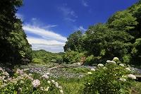 神奈川県 二宮町 せせらぎ公園 菖蒲園 アジサイ