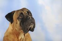 ブル・マスティフ 犬