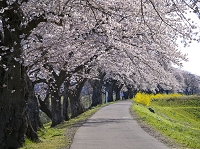 宮城県 一目千本桜並木