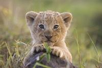 子ライオン