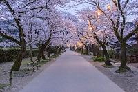 福岡県 朝倉市 秋月城下 夜桜