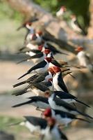 餌台に群がるコウカンチョウ