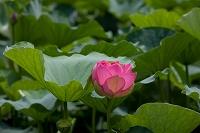 花 草津市立水生植物園みずの森のハス