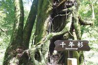 鹿児島県 屋久島の千年杉