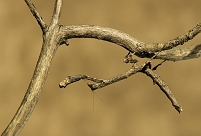 擬態する動物 カマキリ