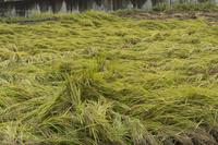 台風で倒れた稲