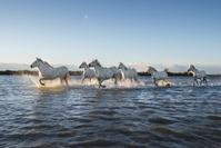 フランス カマグル 白馬の群れ