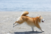 砂浜を走る豆柴犬