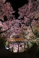 長野県 高遠城址公園 ライトアップされた高遠コヒガンザクラと桜...