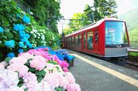 神奈川県 箱根登山鉄道と紫陽花