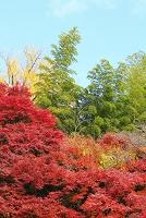 京都市 楓の紅葉と青竹