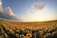 北海道 夕日に輝くヒマワリの群生