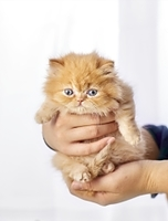ミヌエットの子猫
