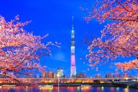 東京都 隅田公園の桜 隅田川とスカイツリー